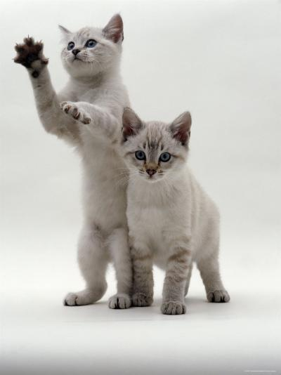 Domestic Cat, Two Blue-Eyed Sepia Snow Bengal Kittens, One Reaching Up-Jane Burton-Photographic Print