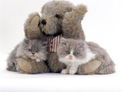 Domestic Cat, Two Blue Persian Kittens with a Brindle Teddy Bear-Jane Burton-Premium Photographic Print