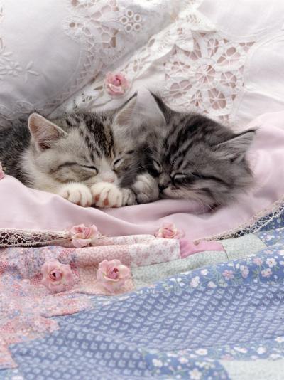 Domestic Cat, Two Chinchilla-Cross Kittens Sleeping in Bed-Jane Burton-Photographic Print