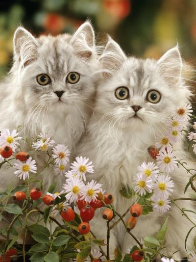 Domestic Cat, Two Silvertabby Persian Kittens Among Michaelmas Dasies and Rose Hip-Jane Burton-Photographic Print