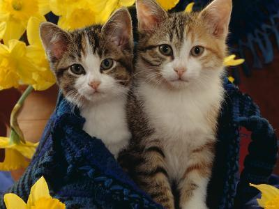 Domestic Cat, Two Tabby-Tortoiseshell-And-White Kittens in Blue Bag with Daffodils-Jane Burton-Photographic Print