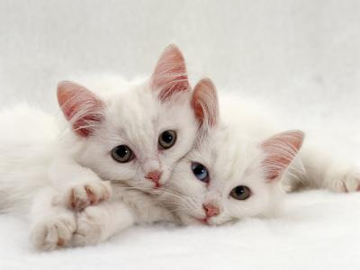 Domestic Cat, Two White Persian-Cross Kittens, One Odd-Eyed-Jane Burton-Photographic Print