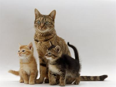 Domestic Cat, with Two of Her 6-Week Kittens-Jane Burton-Photographic Print