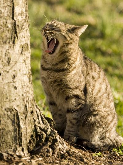 Domestic Cat Yawning by a Tree, Pennsylvania-Tim Laman-Photographic Print