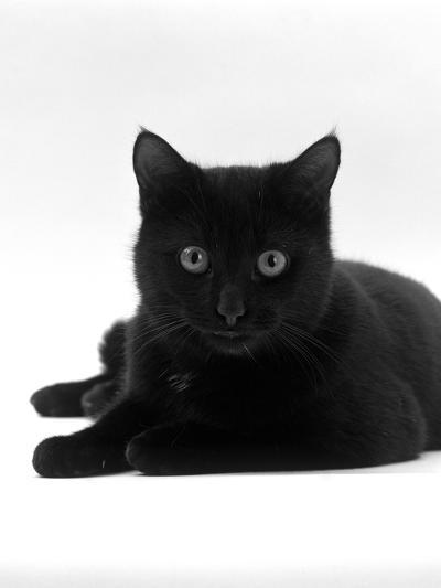 Domestic Cat, Young Black Male-Jane Burton-Photographic Print
