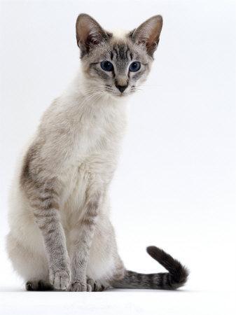 Domestic Cat, Young Tabby Point Siamese-Jane Burton-Premium Photographic Print