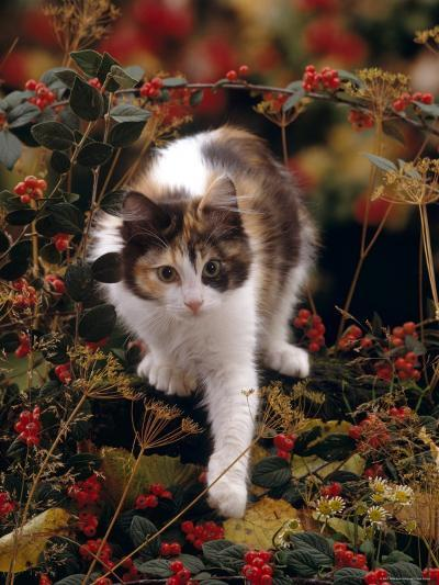 Domestic Cat, Young Tortoiseshell-And-White Among Cotoneaster Berries and Ground Elder Seedheads-Jane Burton-Photographic Print