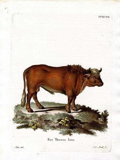 Domestic Cattle--Giclee Print