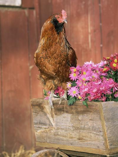 Domestic Chicken, Americana Breed, USA-Lynn M^ Stone-Photographic Print