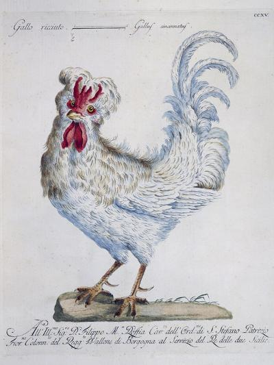 Domestic Chicken (Gallus Gallus), Coloured from History of Birds, 1767, Table 215--Giclee Print