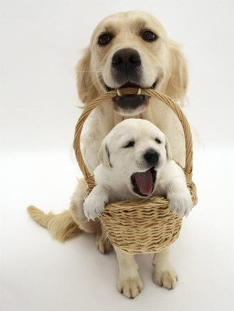 https://imgc.artprintimages.com/img/print/domestic-dog-canis-familiaris-carrying-puppy-in-basket_u-l-q10nzev0.jpg?p=0