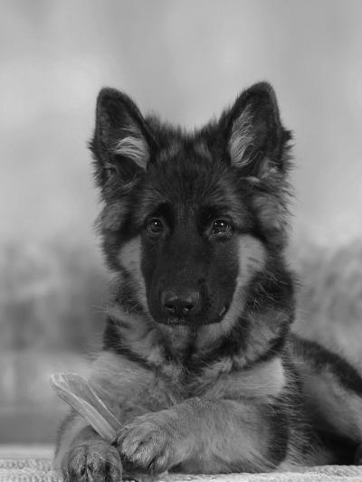 Domestic Dog, German Shepherd Alsatian Juvenile. 5 Months Old, with Rawhide Bone-Petra Wegner-Photographic Print
