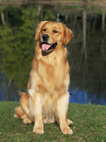 Domestic Dog Sitting Portrait, Golden Retriever (Canis Familiaris) Illinois, USA-Lynn M^ Stone-Photographic Print