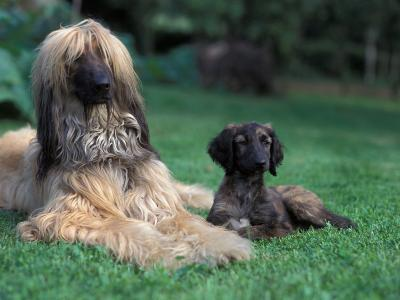 Domestic Dogs, Afghan Hound Lying on Grass with Puppy-Adriano Bacchella-Photographic Print