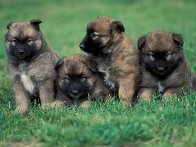 Domestic Dogs, Belgian Malinois / Shepherd Dog Puppies Sitting / Lying Together-Adriano Bacchella-Photographic Print