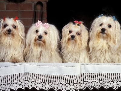 Domestic Dogs, Four Maltese Dogs Sitting in a Row, All with Bows in Their Hair-Adriano Bacchella-Photographic Print