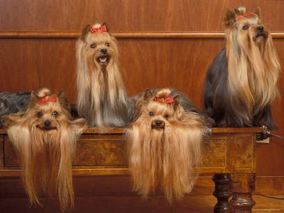 Domestic Dogs, Four Yorkshire Terriers on a Table with Hair Tied up and Very Long Hair-Adriano Bacchella-Photographic Print