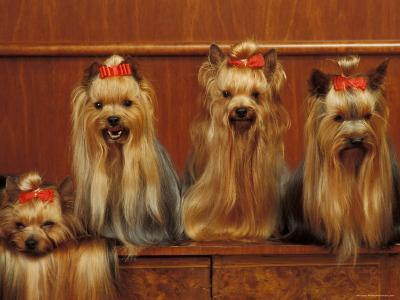 Domestic Dogs, Four Yorkshire Terriers Sitting / Lying Down-Adriano Bacchella-Photographic Print