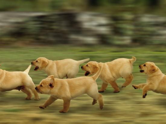 Domestic Dogs, Labrador Puppies Running-Jane Burton-Photographic Print