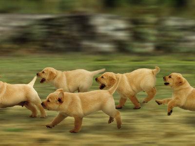 https://imgc.artprintimages.com/img/print/domestic-dogs-labrador-puppies-running_u-l-q10nzh70.jpg?p=0
