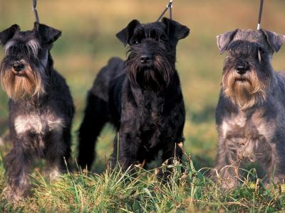 Domestic Dogs, Three Miniature Schnauzers on Leads-Adriano Bacchella-Photographic Print