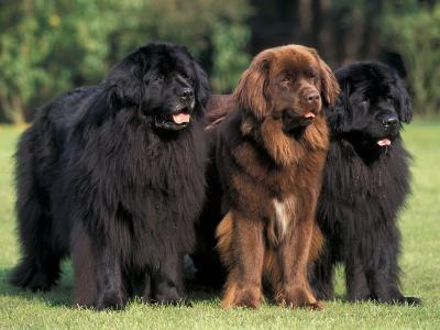 Domestic Dogs, Three Newfoundland Dogs Standing Together-Adriano Bacchella-Photographic Print