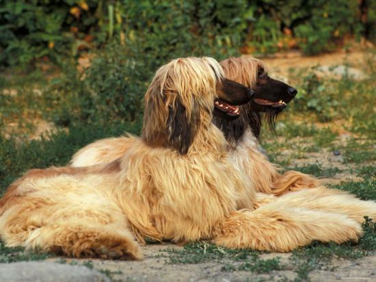 Domestic Dogs, Two Afghan Hounds Lying Side by Side-Adriano Bacchella-Photographic Print