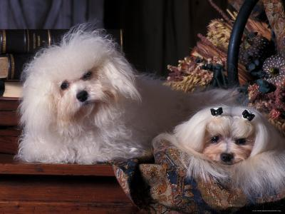 Domestic Dogs, Two Maltese Dogs, One Groomed and the Other Ungroomed-Adriano Bacchella-Photographic Print