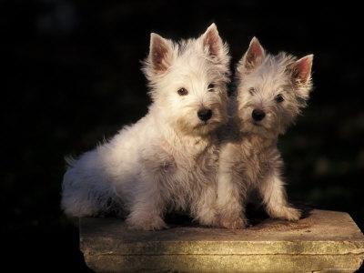 https://imgc.artprintimages.com/img/print/domestic-dogs-two-west-highland-terrier-westie-puppies-sitting-together_u-l-q10o2pv0.jpg?p=0