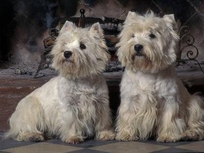 Domestic Dogs, Two West Highland Terriers / Westies Sitting Together-Adriano Bacchella-Photographic Print