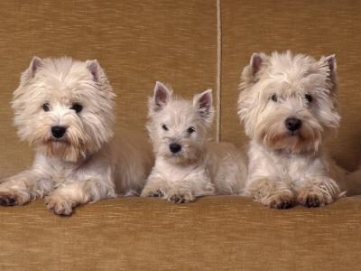 Domestic Dogs, Two West Highland Terriers / Westies with a Puppy-Adriano Bacchella-Photographic Print