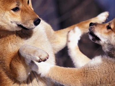 Domestic Dogs, Two Young Shiba Inus Playfighting-Adriano Bacchella-Photographic Print