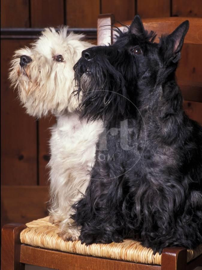 1a3678641 Domestic Dogs, West Highland Terrier / Westie Sitting on a Chair with a  Black Scottish TerrierBy Adriano Bacchella