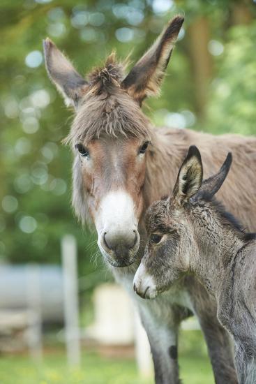 Domestic Donkey, Equus Asinus Asinus, Mare, Foal, Portrait, Head-On, Looking into Camera-David & Micha Sheldon-Photographic Print