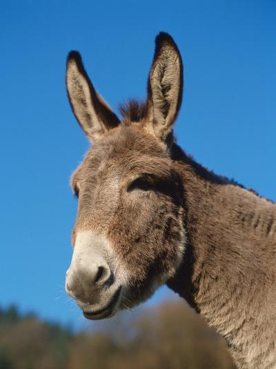 Domestic Donkey Head Portrait, Europe-Reinhard-Photographic Print