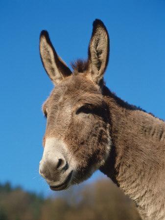 https://imgc.artprintimages.com/img/print/domestic-donkey-head-portrait-europe_u-l-q10nydu0.jpg?p=0
