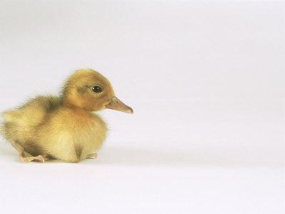 Domestic Duck, Duckling-Les Stocker-Photographic Print