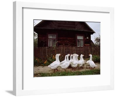 Domestic Geese on a Street in Bialowieza-Raymond Gehman-Framed Photographic Print