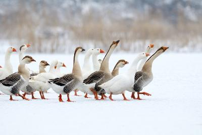 Domestic Geese Outdoor in Winter- aabeele-Photographic Print