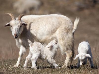 Domestic Goat (Capra Aegagrus Hircus) Nursing One of its Babies in a Barnyard-Joe McDonald-Photographic Print