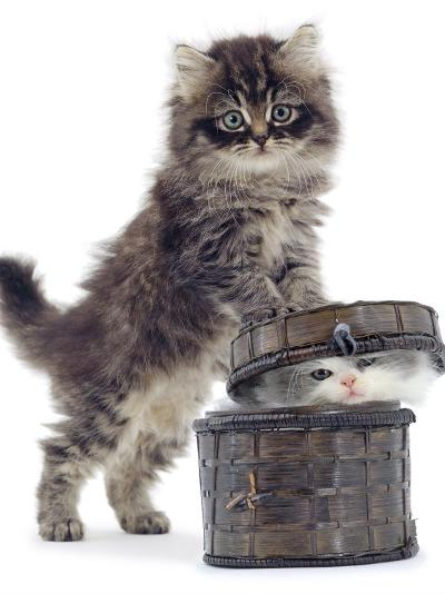 Domestic Kitten (Felis Catus) on Basket with Another Kitten Inside It-Jane Burton-Photographic Print