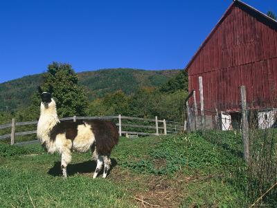 Domestic Llama, on Farm, Vermont, USA-Lynn M^ Stone-Photographic Print