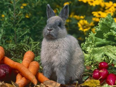 Domestic Netherland Dwarf Rabbit Amongst Vegetables, USA-Lynn M^ Stone-Photographic Print