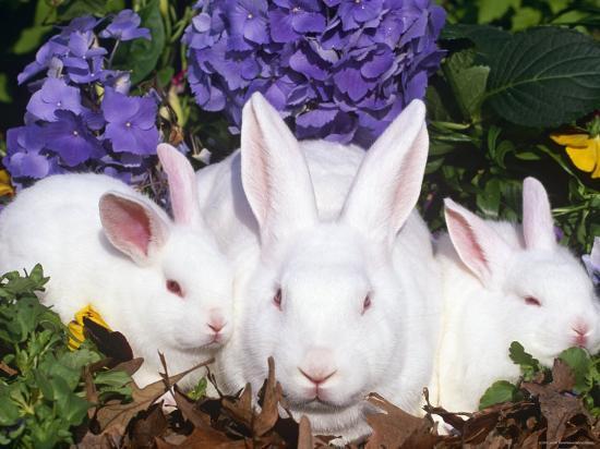Domestic New Zealand Rabbits, Amongst Hydrangeas, USA-Lynn M^ Stone-Photographic Print
