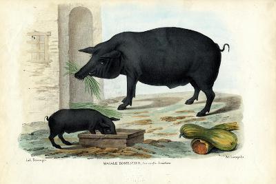Domestic Pig, 1863-79-Raimundo Petraroja-Giclee Print