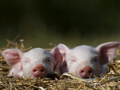 Domestic Pig, Huellhorst, Germany-Thorsten Milse-Photographic Print