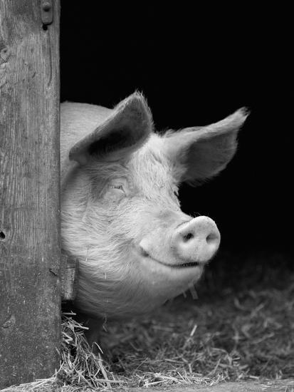 Domestic Pig Looking out of Stable, Europe-Reinhard-Photographic Print
