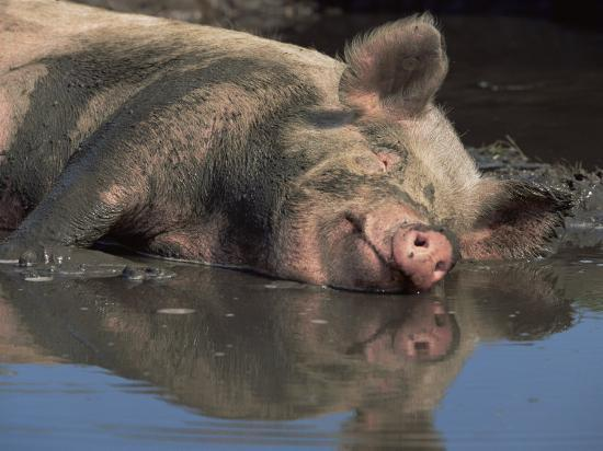 Domestic Pig Wallowing in Mud, USA-Lynn M^ Stone-Photographic Print