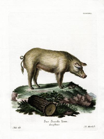 Domestic Pig--Giclee Print