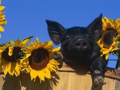 Domestic Piglet, Amongst Sunflowers, USA-Lynn M^ Stone-Photographic Print